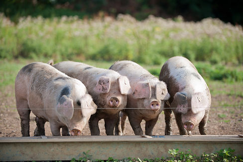 The real pig company is a family run business and even the kids get involved