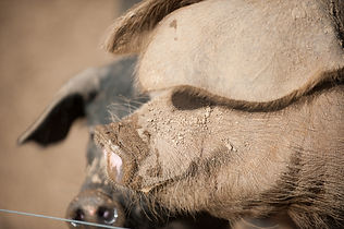 The real Pig Co. believe free range is best for the animals and best for us as consumers