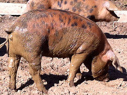 The Real Pig Company traditional rare breed pigs including oxford sandy and blacks, gloucester old spot and saddlebacks slow bred and simply free range