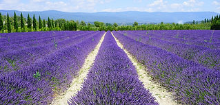lavender-field-1595577_1280.jpg