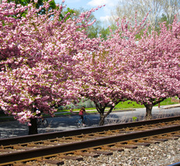 Marietta Cherry Blossoms