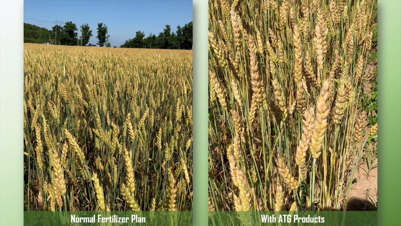 ATG Wheat
