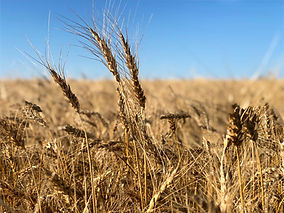 Wheat dry 2_edited.jpg