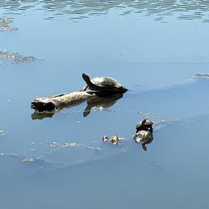 Indian Pond Turtle- Tessa Sutherland