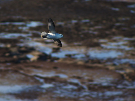Le Fulmar boréal sur les côtes normandes