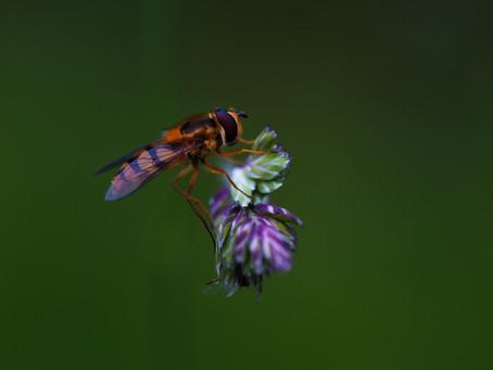 Les syrphes, ces mouches déguisées en guêpes !