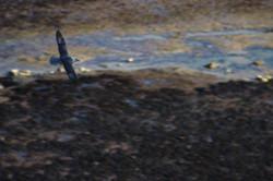 Fulmar boréal sur la côte normande