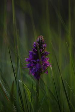 L'Orchis négligée