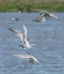 2019RFNHM_PRINT_104 - Terns with sandeel by Keith Malcolm.  Highly Commended