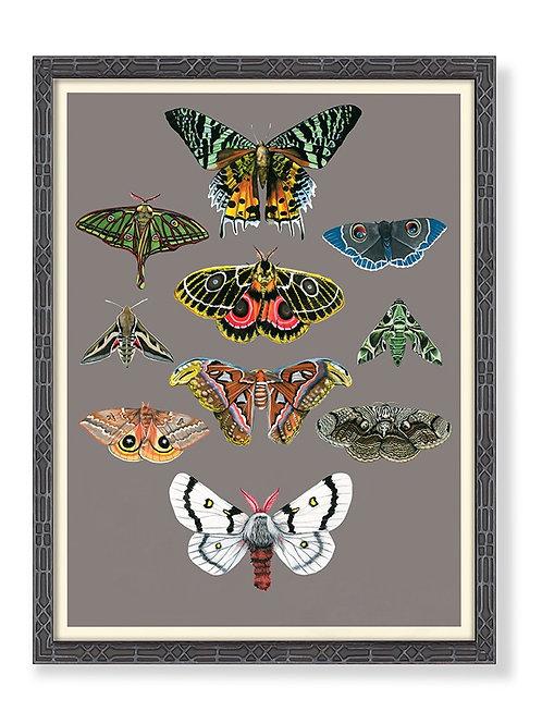 Entomology Moths Chart