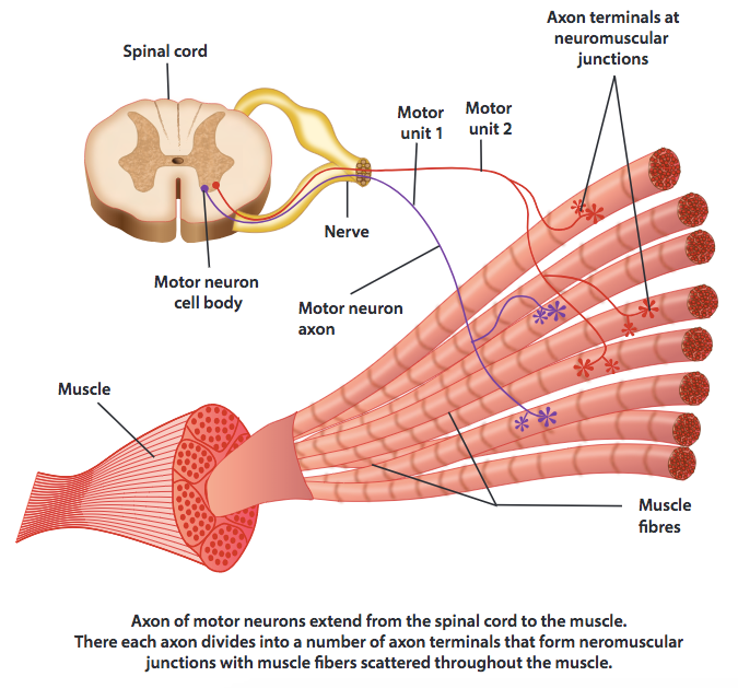 An illustration of axons of motor neurons which extend from the spinal cord to the muscle.