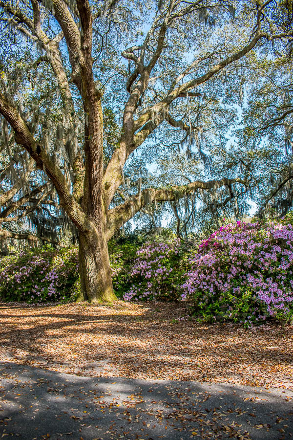 large live oaks with spanish moss azaleas