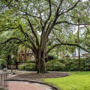 Large Tree at Washington Square
