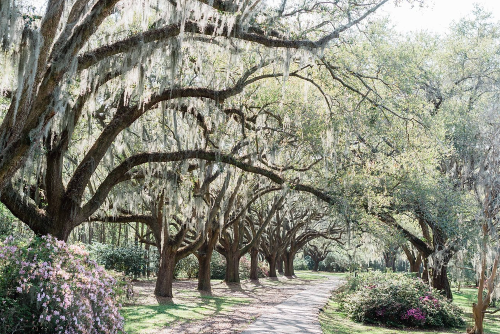 spring avenue of mossy oaks Charleston sc