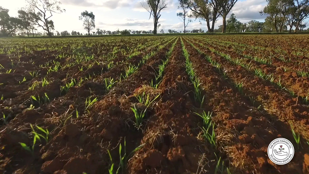 WATCH THE WHEAT GROWTH (BOOT STAGE)