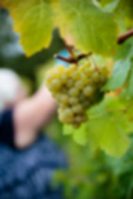 Kerner grapes at harvest.jpg