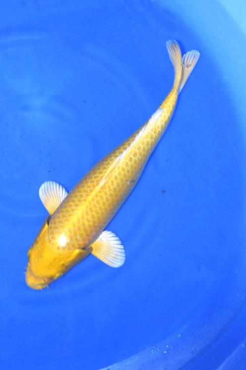 Yamabuki Ogon