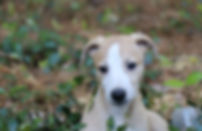 Whipppt Puppy