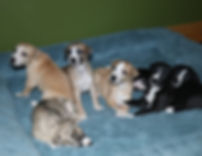 Whippet Liter Sold Puppies
