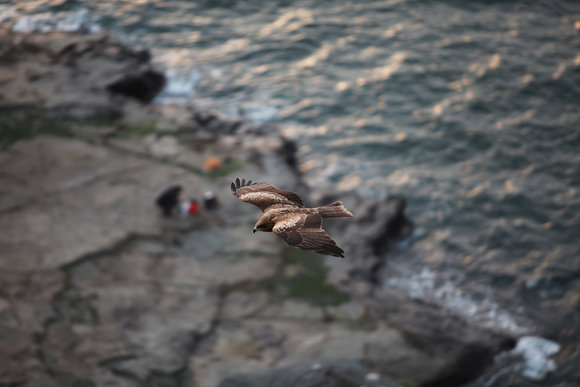 Birds - Tonbi, Japan