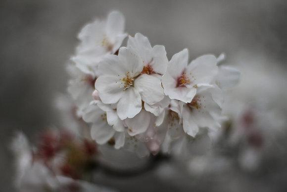 White Sakura Flower, Japan
