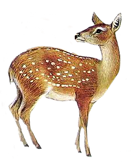 illustrazione del capriolo