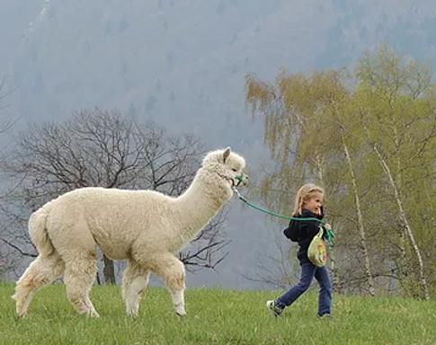 Lama e alpaca a Vigo Cavedine