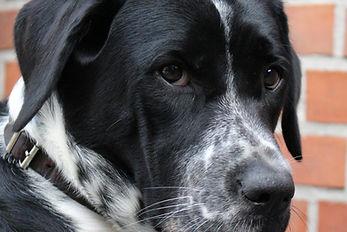 Canva - Dog, Hybrid, Black, White, Pet.j