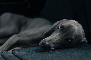 Canva - Portrait of lying dog.jpg