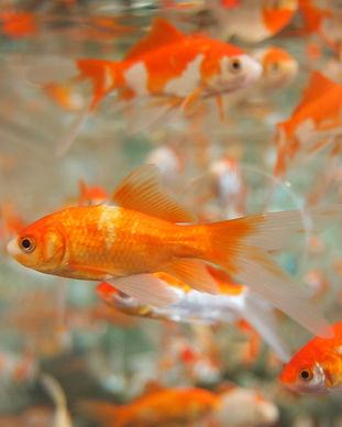 goldfish-178585.jpg
