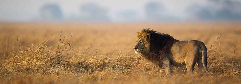 savannah-lion.jpg