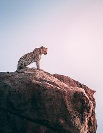leopard-on-rock.jpg