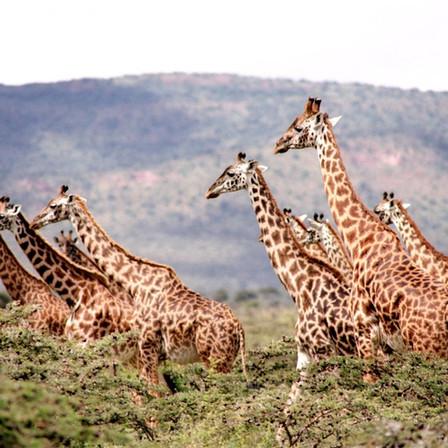 Giraffe on Safari