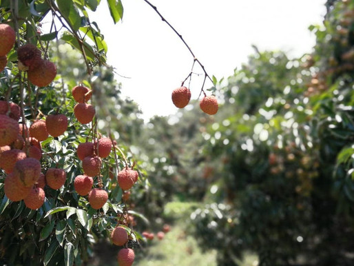 THE LITCHI ORCHARD IN SALT ROCK