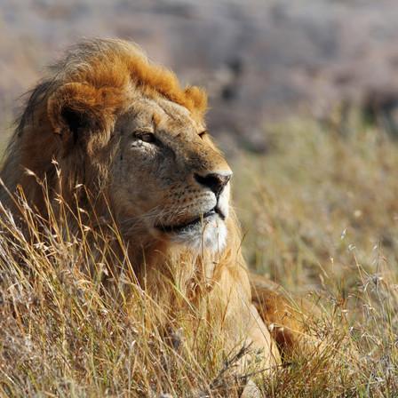 Lion on safari in Uganda