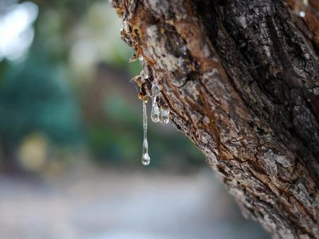 Mastikinė pistacija [Pistacia lentiscus]