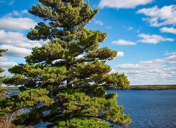 """Pine (White) 7 - 15"""" /  2-2TP*"""