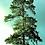 "Thumbnail: Pine (Red - Norway) 7 - 15"" /  2-2TP*"