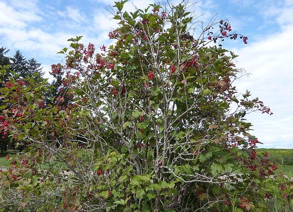 "Cranberry (Highbush) 12-18"""