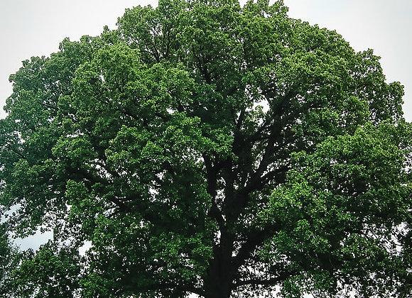 """Oak (Bur) 18 - 24"""""""