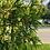 """Thumbnail: Arborvitae White Cedar (Eastern) 12 - 16"""" /  2-3TP*"""