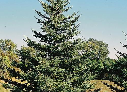 "Spruce (White) 7 - 15"" /  2-2TP*"