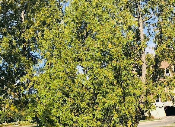 """Abrovitae White Cedar (Eastern) 12 - 16"""" /  2-3TP*"""