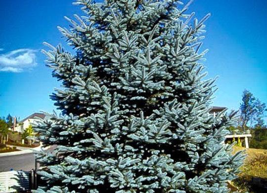 """Spruce (Colorado Blue) 7 - 15"""" /  2-2TP*"""
