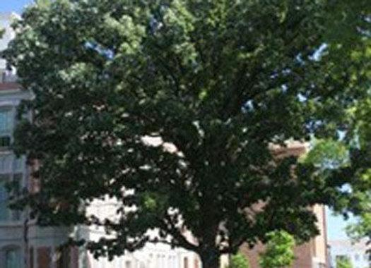 """Oak (White) 18 - 24"""""""