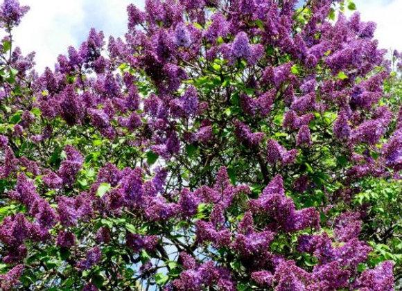 """Lilac (Common Purple) 18 - 24"""""""