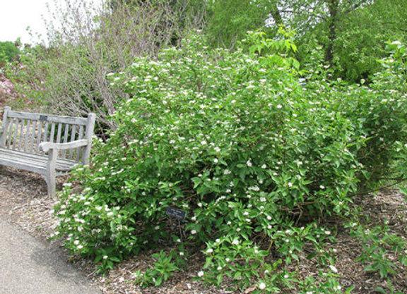 Dogwood (Redosier) 2 - 3'