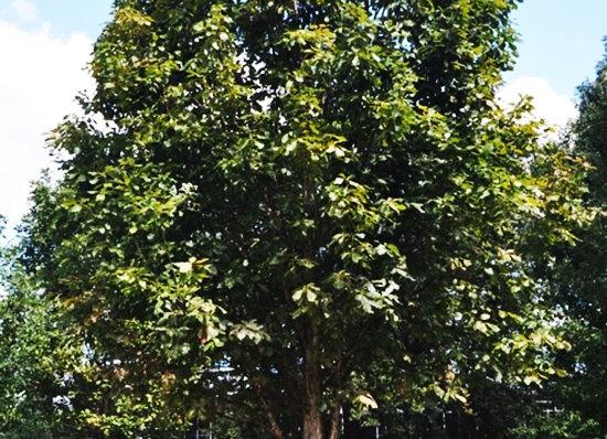"Oak ( Swamp White) 18 - 24"""