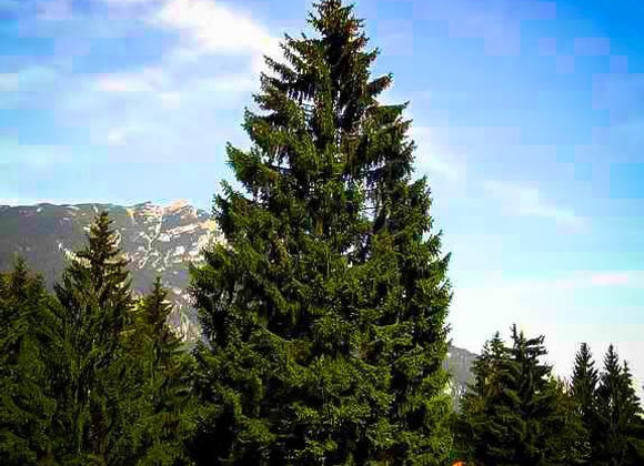 """Spruce (Norway) 7 - 15"""" / 2-2TP*"""