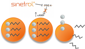 Sinetrol mechanism of action